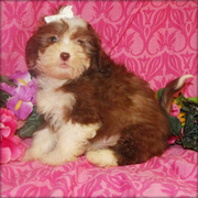 SHIH POO PUPPIES STILL READY FOR SALE M
