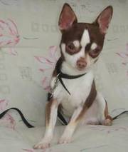 Stunning Chocolate Tri-colour Male Chihuahua For Stud