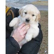 golden retriever puppies ready to go now